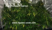 Pineapple Express regular