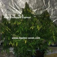 Auto Pineapple Express Regular / Ligalaiz Seeds