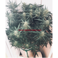 Auto Pineapple Express Feminised / Ligalaiz Seeds