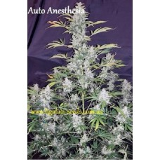 Auto Anesthesia regular / Ligalaiz Seeds