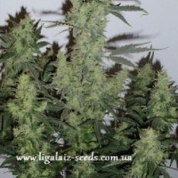 Auto Big Devil XL Feminised / Ligalaiz Seeds