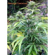 Somango regular / Ligalaiz Seeds
