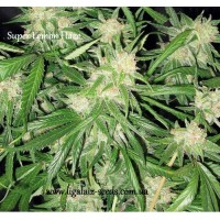 Super Lemon Haze regular / Ligalaiz Seeds