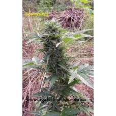 Lowryder2 regular / Ligalaiz Seeds