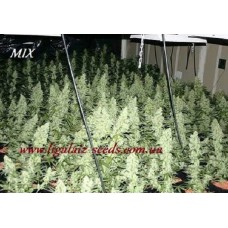 Ligalaiz MIX regular / Ligalaiz Seeds (5 шт)