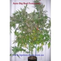 Auto Big Bud Exclusive / Ligalaiz Seeds