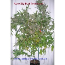 Auto Big Bud Exclusive / Ligalaiz Seeds