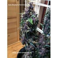 Auto Blueberry Feminised / Ligalaiz Seeds