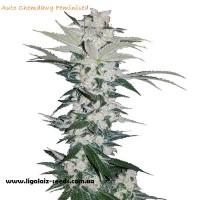 Auto Chamdawg Feminised / Ligalaiz Seeds