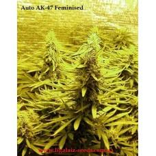 Auto AK-47 Feminised / Ligalaiz Seeds