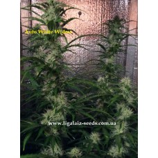 Auto White Widow Feminised / Ligalaiz Seeds
