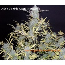 Auto Bubble Gum Feminised / Ligalaiz Seeds