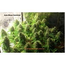 Auto Mazar Feminised / Ligalaiz Seeds