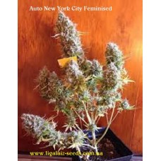 Auto New York City Feminised / Ligalaiz Seeds