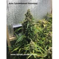 Auto Tutankhamon Exclusive / Ligalaiz Seeds