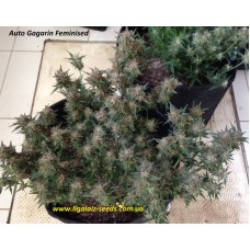 Auto Gagarin Exclusive / Ligalaiz Seeds