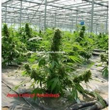 Auto Critical Feminised / Ligalaiz Seeds