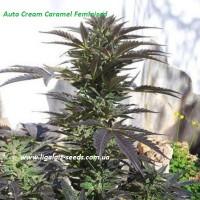 Auto Cream Caramel Feminised / Ligalaiz Seeds