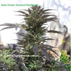 Auto Cream Caramel Feminised / Ligalaiz Seeds
