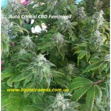 Auto Critical CBD Feminised / Ligalaiz Seeds