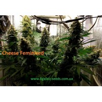 Cheese Feminised Exclusive / Ligalaiz Seeds