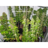 G13 Haze Exclusive Feminised / Ligalaiz Seeds