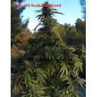 Auto OG Kush Feminised / Ligalaiz Seeds