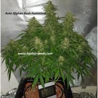 Auto Afghan Kush Exclusive / Ligalaiz Seeds
