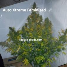 Auto Xtreme Feminised