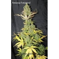 Amnesia Feminised Exclusive / Ligalaiz Seeds