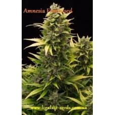 Amnesia Feminised / Ligalaiz Seeds