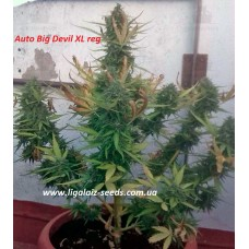 Auto Big Devil XL regular / Ligalaiz Seeds