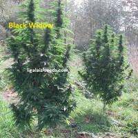 Black Widow Exclusive / Ligalaiz Seeds