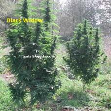 Black Widow Exclusive