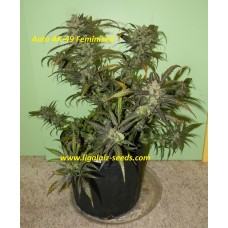 Auto AK-49 Feminised Exclusive / Ligalaiz Seeds