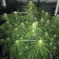 Auto L.S.D Exclusive / Ligalaiz Seeds