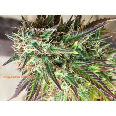 Auto Mig-29 Exclusive / Ligalaiz Seeds