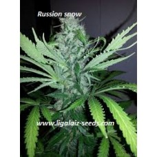 Russian Snow Regular / Ligalaiz Seeds