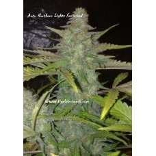 Auto Northern Lights Exclusive