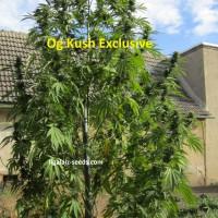 Og Kush Exclusive / Ligalaiz Seeds