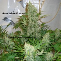 Auto White Russian Feminised / Ligalaiz Seeds